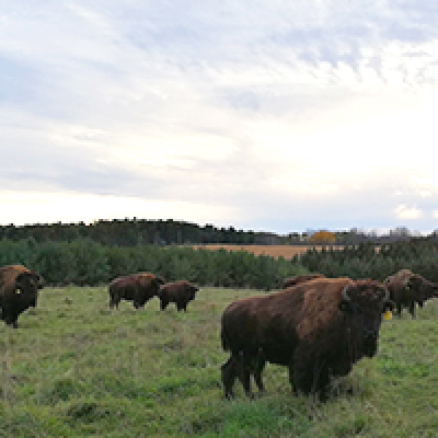 Thunder Ridge Bison Farm