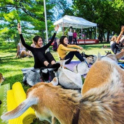 Goat Yoga at Brock University