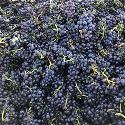Backyard Vineyards Wine Harvest 2019